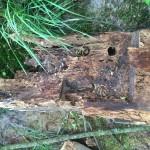 Insektenfraß, Fäule und Verwitterung haben die Eiche zerstört.